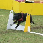 Bryce at Flyball